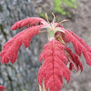 Spring Bringing Forth New Red Oak Leaves of Velvet