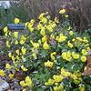 Mums Still in Bloom After the Rain - Nov. 9