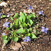 Violets Dropped in by Birds or Wind