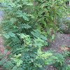Another Honey or Black Locust Dropped In Along Driveway and More Poke Weed