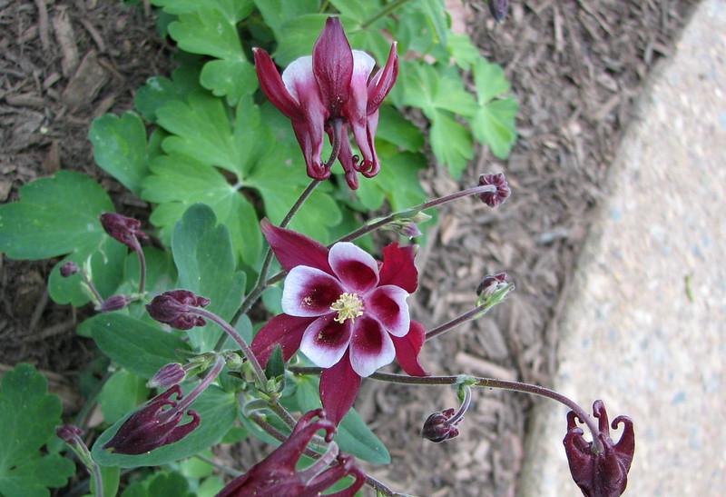 Columbines First Bloom