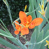 Blackberry Lily of the Iris Family