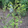 Golden Barberry Transplanted from Original Spot for More Sun