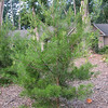 Some of the Pines Are Getting Taller Even With the Hot Summer This Year