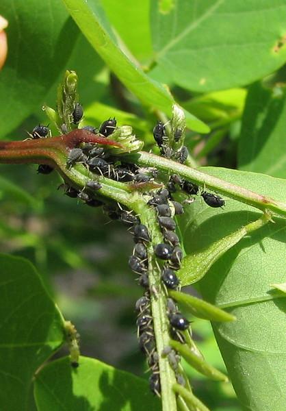 Aphids on Honey Locust