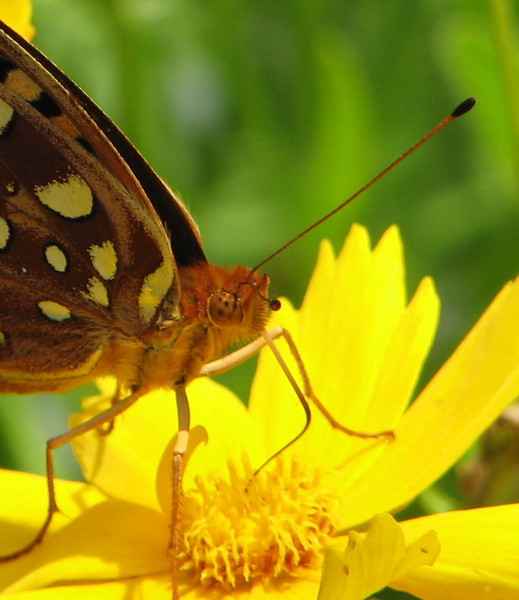 Great Spangled Fritillary Butterfly on Coreopsis