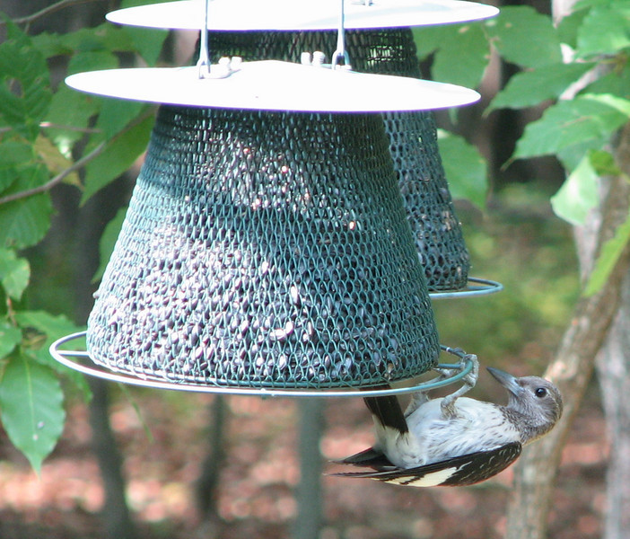 Juvenile Red-headed Woodpecker Trying To Figure Out The Feeder