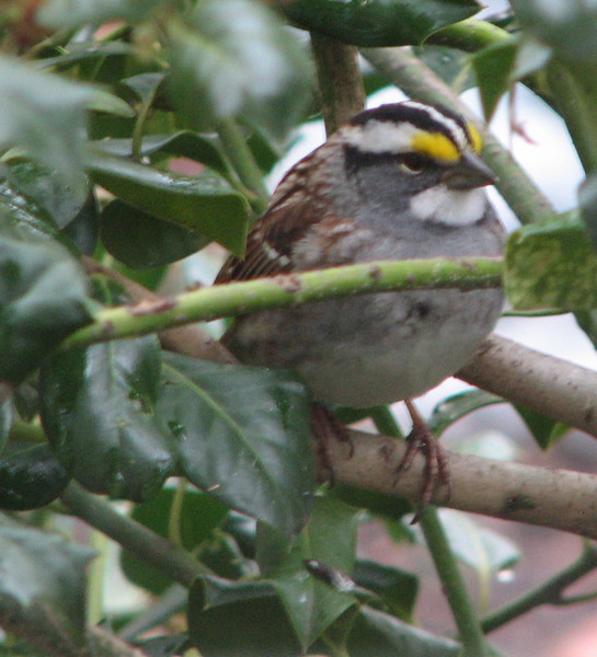 White-throated Sparrow at Kitchen Window_2