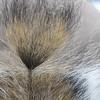 Ponytail Squirrel Closeup