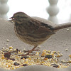 Song Sparrow in Feeder on Front Porch