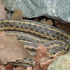 Adult Garter Snake - Beautiful Skin
