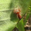 Cute Red Spider I Have Never Seen Before on Common Milkweed