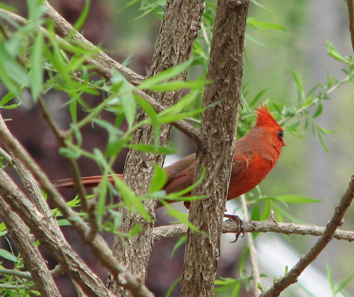 Is Anybody Watching Me Asks the Cardinal