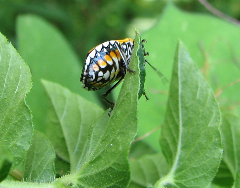 Harlequin Bug on Salvia - Beautifully Colored Underbelly