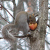 Squirrel Carried Whole Apple Up The Tree To Cache It Away