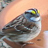 White-throated Sparrow  - April 13