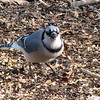 Blue Jay With Corn on Ground