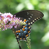 Black Swallowtail_3