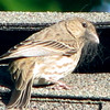 Female House Finch Gathering Fibers From Our Roof Cap_4