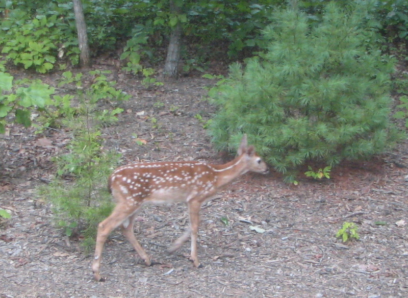Fawn Outside Screened Porch - August 19