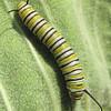 Monarch Caterpillar - First We've Seen Here  8-13-07