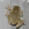 Eastern Gray Tree Frog - Look At The Pattern On HIs Back