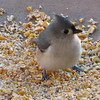 Oh What a Tweet Tweet For the Tufted Titmouse