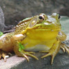 Male Green Frog at Pond