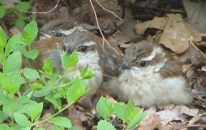 Wren Babies - Day After Fledging From Nest - May 4_6