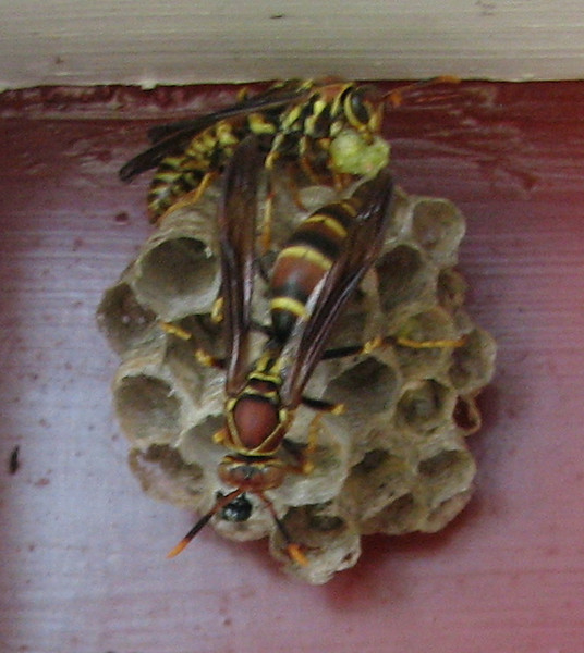 Two Female Paper Wasps Above One of the Front Door Sidelites - Female on Top Seems to Have a Chewed Up Meal to Feed the Larvae Inside the Cells