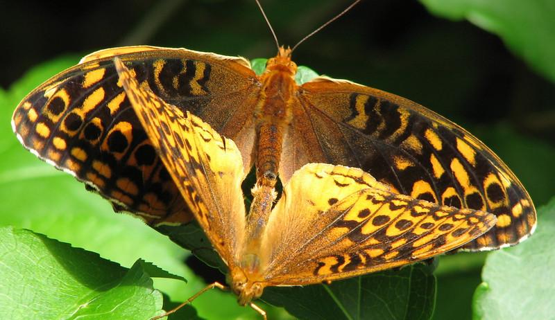 Bug Walk at Ivy Creek Natural Area - Great Spangled Fritillary Butterflies Mating