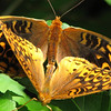 Bug Walk at Ivy Creek Natural Area - Great Spangled Fritillary Butterflies Mating