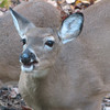 Deer Chewing On Apple - Look At Those Eyelashes On Mama Deer