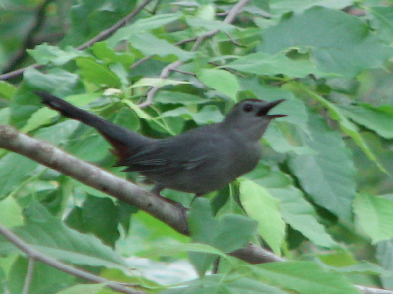 Gray Catbird Singing