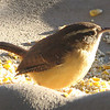 Morning Sunlight on Wren