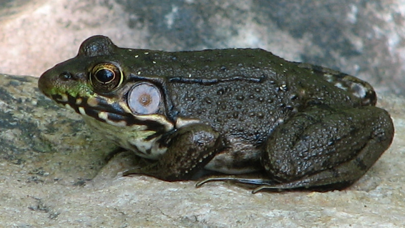 Female Green Frog