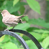 Fledged House Finch