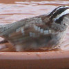 White-throated Sparrow Bathing  - April 13
