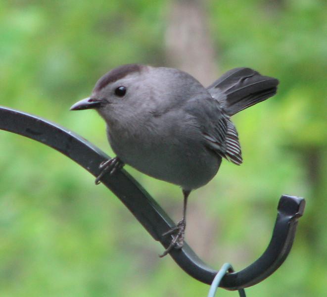 Gray Catbird in Rear  5-4-07