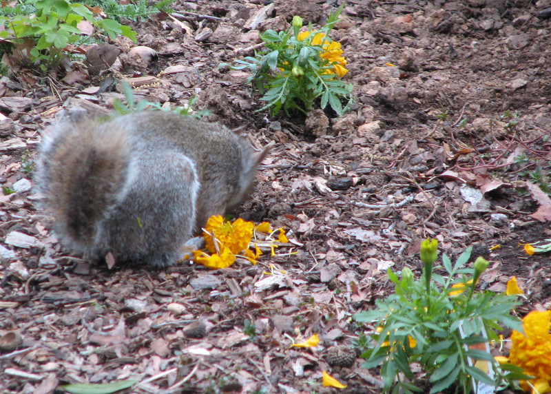 Mr. Short Tail Squirrel Decided to Dine on Our Newly Planted Marigolds