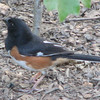 Rufous-sided Towhee Has Been a Regular Out Back