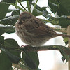 Song Sparrow on Holly
