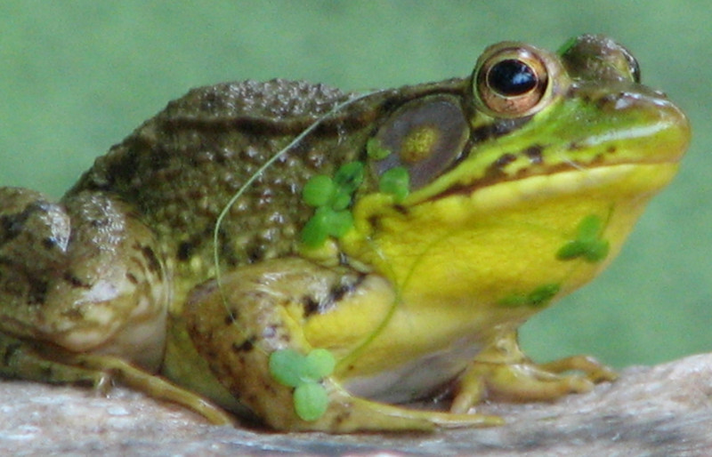 Male Breeding Green Frog With Duckweed Adornment