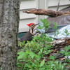Pileated Woodpecker at Our Wood Pile