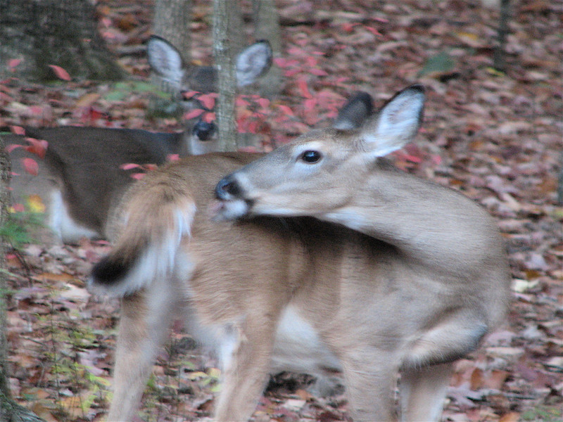 Deer Grrom Themselves Much Like Cats