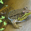 Male Green Frog - They Have Such Long Back Legs and Toes