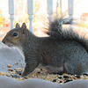Friendly Squirrel Winter Guest With Torn Ear