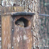 Peek-a-Boo Squirrel in Chewed Up Bluebird House