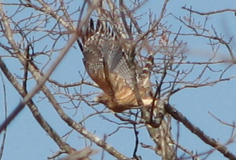 Red-shouldered Hawk Takes Flight