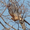 Red-shouldered Hawk Takes Flight